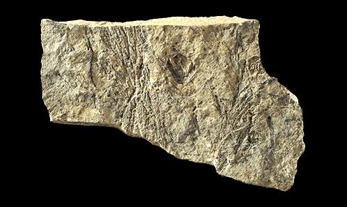 Deux espèces de conifères fossiles du Néogène de l'île d'Alonissos (Liadrómia, Grèce)