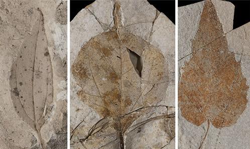 Évolution du climat en Europe occidentale durant le Cénozoïque: apports des collections historiques àtravers l'utilisation de la morphologie foliaire