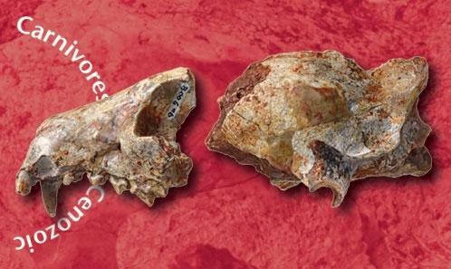 Description d'une nouvelle espèce de <i>Cynodictis</i> Bravard& Pomel, 1850 (Carnivora, Mammalia) provenant des Phosphorites du Quercy; réflexion sur l'utilisation de la morphologie du crâne dans les analyses phylogénétiques