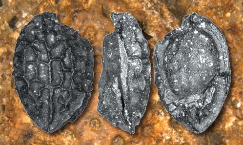 Fruits fossiles d'Icacinaceae provenant de trois sites du Bassin Parisien (début Éocène, France): diversité locale et implications biogéographiques