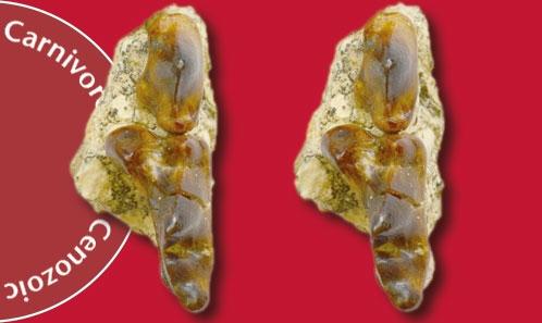 Une espèce nouvelle de <i>Tungurictis</i> Colbert, 1939 (Carnivora, Hyaenidae) du Miocène moyen du bassin de Junggar, Chine du nord-ouest, et le début de la divergence des hyénidés basaux en Asie de l'est