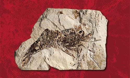 <i>Pseudodrobna natator</i> n.comb., un nouveau point commun entre les faunes de crustacés du Jurassique d'Allemagne et du Crétacé du Liban