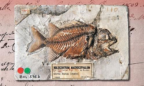 Les conditions d'acquisition de la collection Gazola de poissons fossiles du Monte Bolca (Éocène, Italie) par le Muséum national d'Histoire naturelle