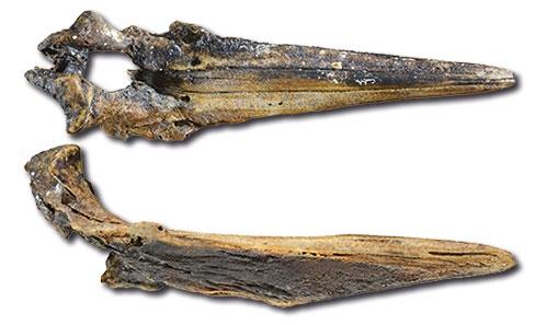 Restes fossiles néogènes et quaternaires de baleines à bec (Cetacea, Odontoceti, Ziphiidae) de dépôts profonds au large des îles Crozet et Kerguelen, océan Austral