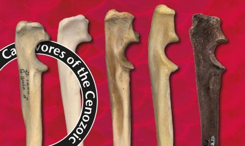 Inférences fonctionnelles sur les os longs d'<i>Ischyrictis zibethoides</i> (Blainville, 1841) (Carnivora, Mustelidae) de la localité du Miocène moyen de Sansan (Gers, France)