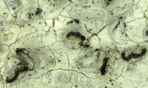 Les lichens du genre <i>Schistophoron</i> Stirt. (Ascomycetes, Graphidaceae) au Brésil avec une clé mondiale desespèces