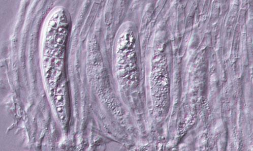 <i>Kwanghwana miscanthi</i> Karun., C.H.Kuo & K.D.Hyde, gen. et sp. nov. (Phaeosphaeriaceae, Pleosporales) sur <i>Miscanthus floridulus</i> (Labill.) Warb. ex K.Schum. & Lauterb. (Poaceae)