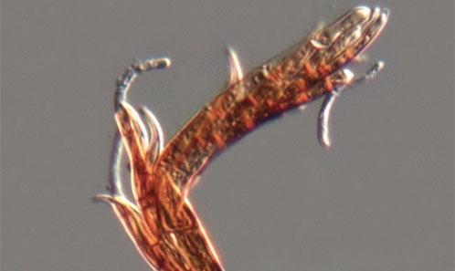 Nouvelles Laboulbeniales de Chine (Ascomycota).