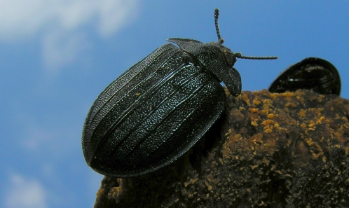 Distribution de <i>Peltis grossa</i> (Linnaeus, 1758) en France (Coleoptera, Trogossitidae)