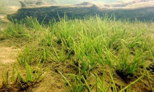 Les herbiers amphibies vivaces à Isoètes dans les lacs oligotrophes montagnards du Massif vosgien, état de conservation, observations et expérimentations récentes