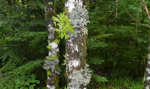 Les apports des sciences participatives  à la connaissance naturaliste: le cas de l'enquête participative «Lichens forestiers du Massif central»