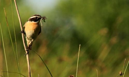 Priorités de conservation des espèces en Auvergne: l'apport des Listes rouges régionales