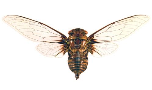 Cinq nouvelles espèces, un nouveau genre et une nouvelle signalisation des cigales de Guyane française avec quatre nouvelles combinaisons et trois nouvelles synonymies (Insecta, Hemiptera, Cicadoidea, Cicadidae)