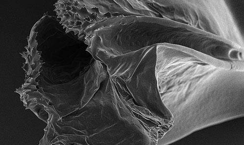 Révision du groupe de <i>Lispe tentaculata</i> (Diptera: Muscidae) de Chine, avec établissement d'un nouveau synonyme