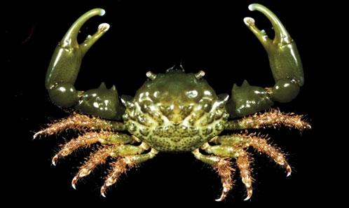 Les crabes Majoidea de l'île de la Guadeloupe, avec une liste commentée des espèces des Petites Antilles (Crustacea, Decapoda, Brachyura, Majoidea)