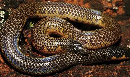Catalogue et révision systématique des serpents à queue armée (Serpentes: Uropeltidae)