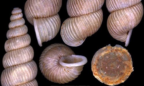Quatre nouvelles espèces de cyclophoroides de Thailande et du Laos (Gastropoda: Caenogastropoda: Alycaeidae, Diplommatinidae, Pupinidae)
