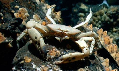 Révision de la communauté hydrothermale brachyourienne du Pacifique occidental, avec deux espèces nouvelles d'<i>Austinograea</i> Hessler & Martin, 1989 (Crustacea, Decapoda, Brachyura, Bythograeidae) des bassins arrière-arc de Lau et Nord-Fidjien
