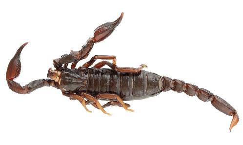 Les scorpions du massif du Mitaraka en Guyane (Scorpiones: Buthidae, Chactidae)