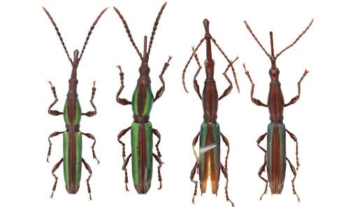 Brentidae Acratini du massif du Mitaraka, en Guyane: unesynthèse des données (Insecta, Coleoptera, Curculionoidea)