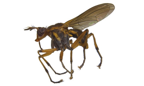 Nouvelles données et une nouvelle espèce de Thecomyia Perty, 1833 (Diptera: Sciomyzidae) du Mitaraka (Guyane), et notes sur le genre