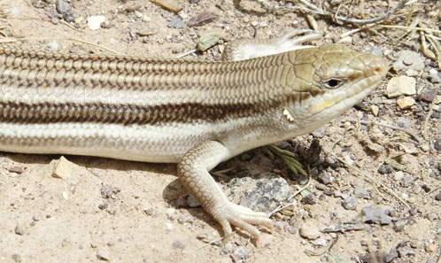 Liste annotée des espèces endémiques d'Iran