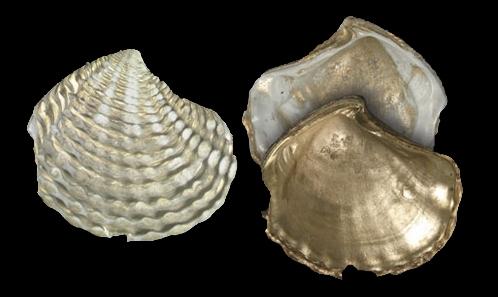 Bivalves lucinidés du Paléocène et de l'Éocène survivant dans l'océan Indien occidental (Bivalvia: Lucinidae)