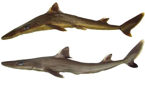 <i>Squalus rancureli</i> Fourmanoir, 1979, un nouveau synonyme junior de l'aiguillat à queue noire <i>S. melanurus</i> Fourmanoir, 1979, et mise à jour de la diagnose actualisée de <i>S. bucephalus</i> Last, Séret& Pogonoski, 2007 de Nouvelle-Calédonie