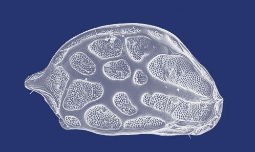 Ostracodes cythéroides (Crustacea) de la Corée du Sud, avec la description d'une nouvelle espèce