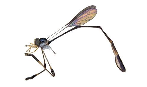Liste actualisée des Asilidae de Guyane (Diptera) axée sur l'expédition du Mitaraka