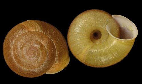 Étude sur le genre <i>Coccoglypta</i> Pilsbry, 1895 (Gastropoda: Pulmonata: Camaenidae)