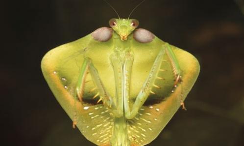 Les mantes (Dictyoptera, Mantodea) du massif du Mitaraka (Guyane)