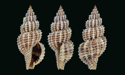 Trois nouvelles espèces de <i>Raphitoma</i> Bellardi, 1847 (Mollusca, Gastropoda, Raphitomidae) de Croatie (nord-est de l'Adriatique)