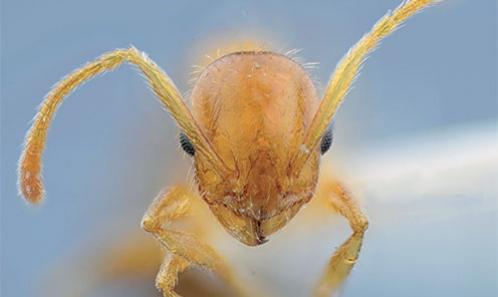 Compléments à la faune des fourmis de Turquie (Hymenoptera, Formicidae)