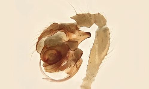 La grande complexité des Micronetinae Hull, 1920 (Araneae, Linyphiidae) mise en évidence par dix nouvelles espèces provenant des grottes du Maroc