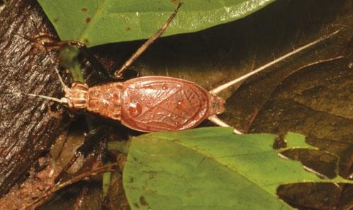 Les grillons Phalangopsidae (Orthoptera, Grylloidea) de l'expédition du Mitaraka, Guyane