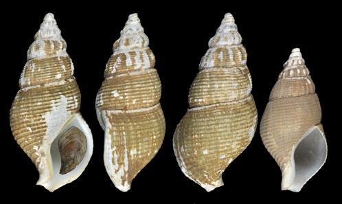 Position taxonomique de <i>Phaenomenella</i> Fraussen& Hadorn, 2006 (Neogastropoda, Buccinoidea) et description de deux nouvelles espèces
