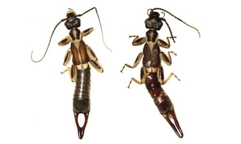 Liste commentée des Dermaptera (Insecta) de Guyane
