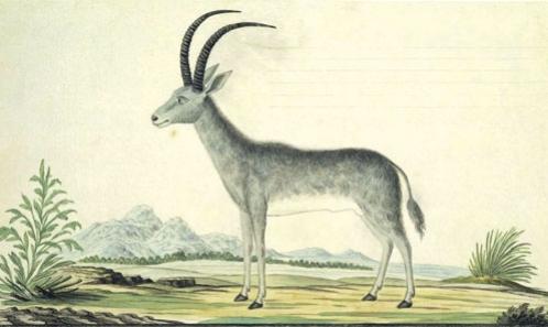 L'Antilope bleue (<i>Hippotragus leucophaeus</i> (Pallas, 1766) [Bovidae]) de Paris et sa provenance