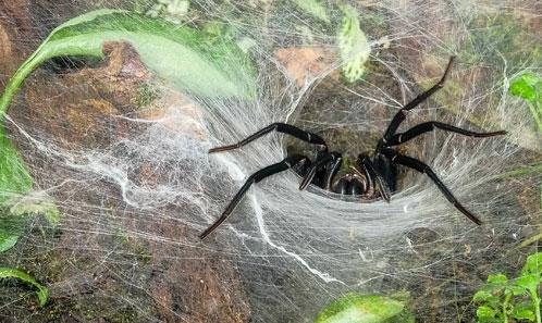 Analyse taxonomique des araignées mygalomorphes du genre <i>Linothele</i> Karsch, 1879 (Araneae, Dipluridae)