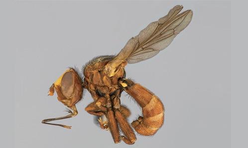 Désignation d'un néotype et redescription de <i>Sicus indicus</i> Kröber, 1940 (Diptera: Conopidae)