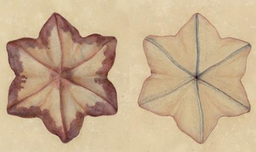 Les espèces d'astéries de Lamarck (Echinodermata: Asteroidea)