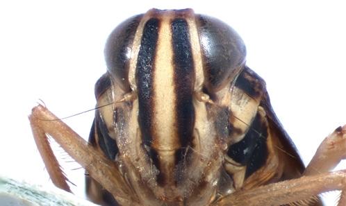 Nouvelles espèces malgaches du genre <i>Limentinus</i> Distant, 1917 et <i>Calodia</i> Nielson, 1982 (Hemiptera, Auchenorrhyncha, Cicadellidae, Coelidiinae) du massif du Makay, avec une clé d'identification pour les espèces malgaches