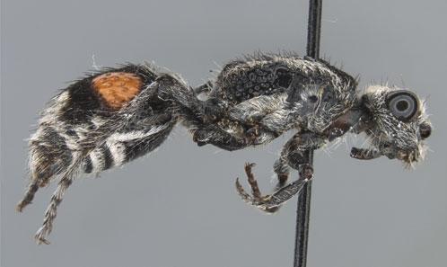 Révision du groupe d'espèces de <i>Traumatomutilla gemella</i> (Hymenoptera, Mutillidae) avec la description des mâles jusqu'alors inconnus