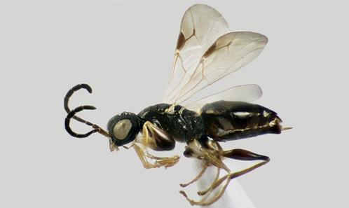Nouvelles signalisations de Dryinidae Haliday, 1833 (Hymenoptera, Chrysidoidea) d'Iran