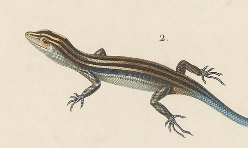 Date de publication, onomatophore and onymotope of<i>Emoia cyanura</i> (Squamata: Scincidae)