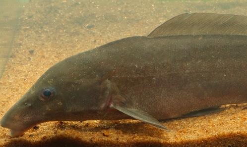 Des rayons de nageoire à l'ADN : données morphologiques et moléculaires supplémentaires pour identifier <i>Mormyrus subundulatus</i> Roberts, 1989 (Pisces : Mormyridae) de la rivière Bandama en Côte d'Ivoire
