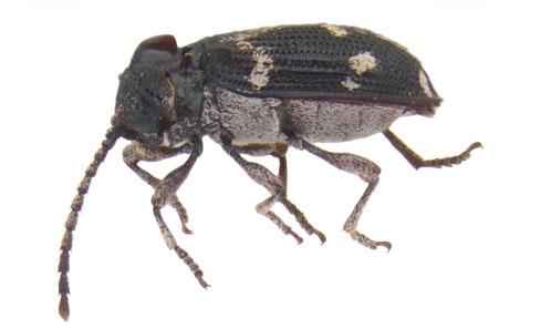<i>Notaferrum</i> n. gen. (Coleoptera: Ptinidae): le premier coléoptère araignée connu associé aux fourmis tisserandes