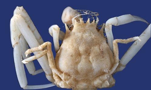 Suspendu à un fil: nouvelle morphologie et position sur les appendices de deux nouveaux genres et trois nouvelles espèces d'isopodes ectoparasites (Epicaridea: Dajidae) infestant des hôtes isopodes et décapodes