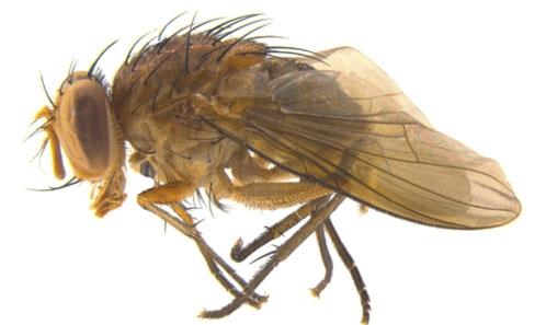 <i>Souzalopesmyia</i> (Diptera: Muscidae) d'Amérique du Sud: nouvelle espèce avec phylogénie basée sur des caractères morphologiques